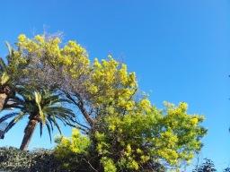 Découverte de l'Estérel Le Mimosa