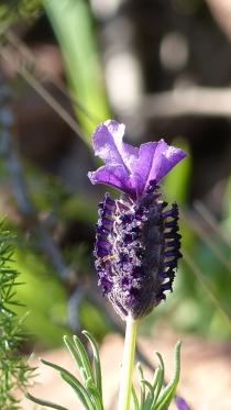 Découverte de l'Estérel Lavande Papillon