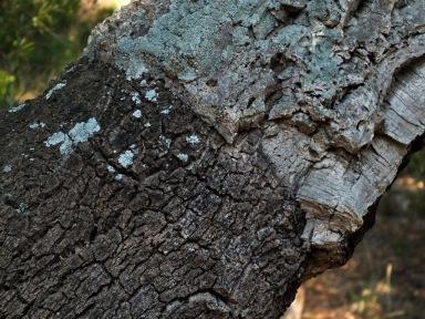 Découverte de l'Estérel Le chêne liège (Femelle et Mâle)