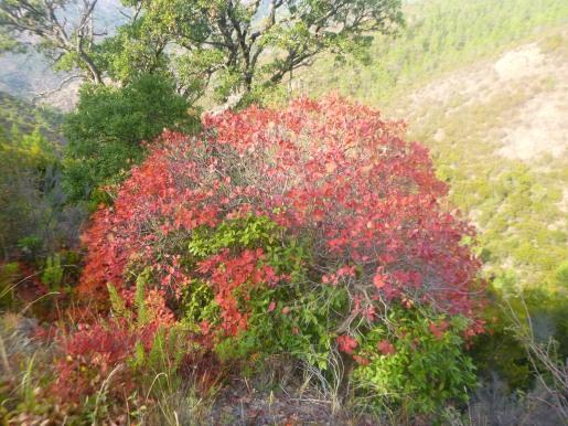 le Sumac des Corroyeurs (Rhus coriaria) encore appelé Vinaigrier, qu'on trouve sur les pentes du Mont Vinaigre