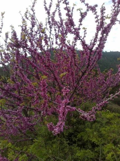 Découverte de l'Estérel L'arbre de Judée
