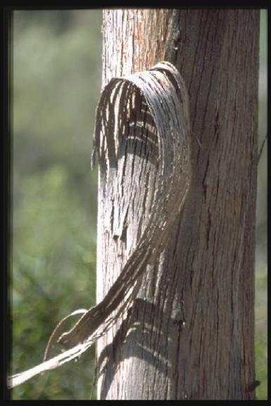 Découverte de l'Estérel l'Eucalyptus
